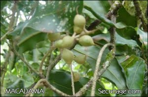 macadamia-1