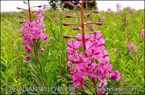 canadian-willowherb