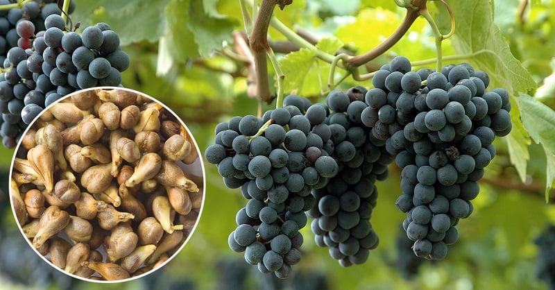 Резултат с изображение за семена на грозде на прах